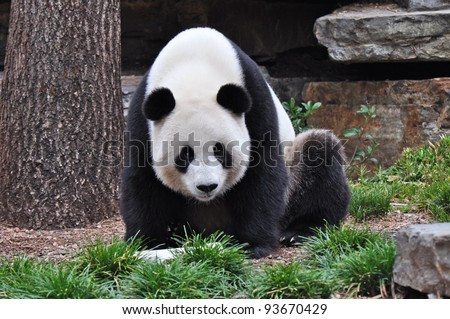 Giant Panda sitting up. Giant Panda looking in the camera. Australia, Adelaide zoo