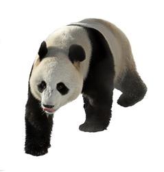 Giant panda with protruding tongue on white background