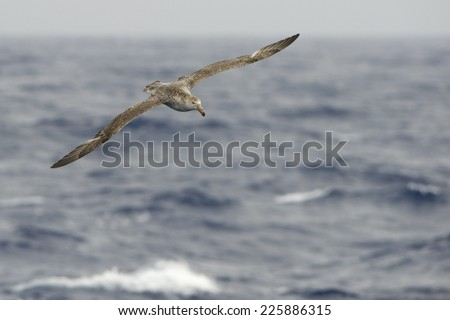 Shutterstock Giant Petrel (Macronectes giganteus) Flying over the Southern Ocean waters Drake Passage, between Tierra de Fuego and the Antarctic Peninsula.