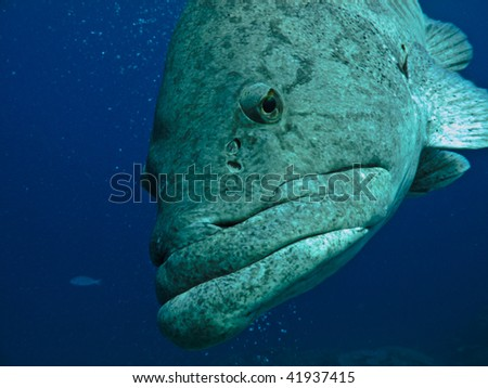 Giant Potato cod (Epinephelus tukula) Great Barrier Reef Australia