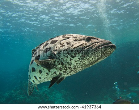 Giant Potato cod (Epinephelus tukula) Great Barrier Reef Marine Park Australia