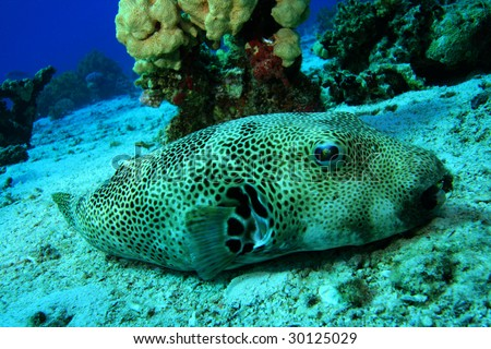 Giant puffer fish stock photo 30125029 shutterstock for Giant puffer fish