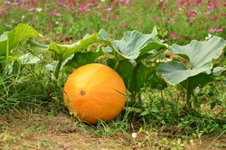 Giant pumpkin on the ground ready to harvest
