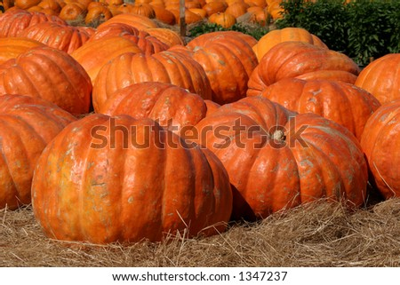 Giant Pumpkins (Atlantic Giant) ready for sale.