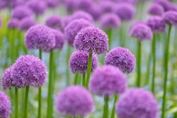 giant purple allium flower field with tiny blue flowers