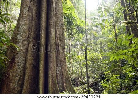 Giant rainforest tree in the Ecuadorian Amazon