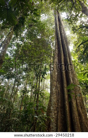 Giant rainforest tree reaching to the canopy