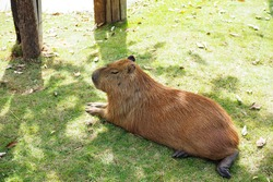 Giant Rat with green grass