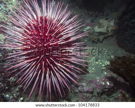 Giant Red Sea Urchin