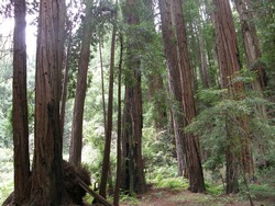 Giant Redwood Sequoia Trees at Muir Woods in California