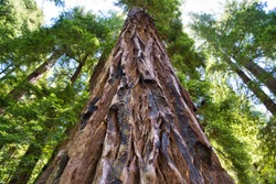 Giant Redwood Trees at Big Basin National Park