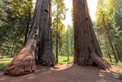 Giant Redwood trees at summertime in Sequoia National park, Sierra Nevada, California.