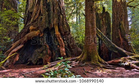 Giant redwood trees in a Humboldt forest, California.