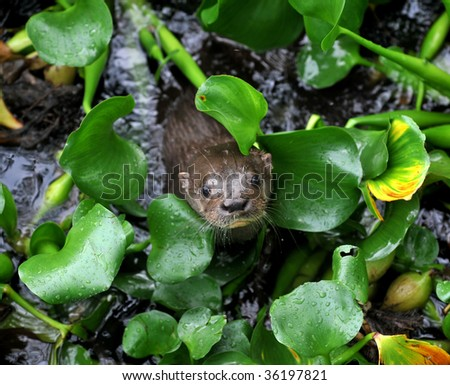 giant river otter looking from between river plants, tortuguero nat park, costa rica, central america. exotic mammal weasel in tropical jungle river stream