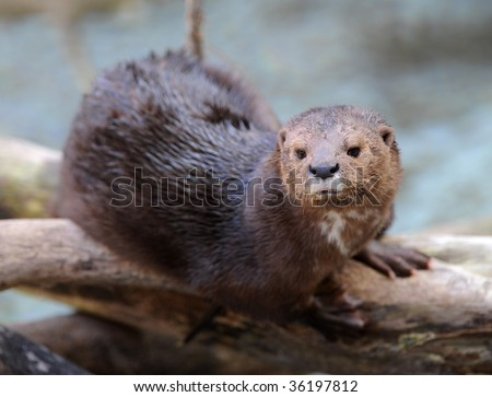 giant river otter sitting on tree, Tortuguero National Park, costa rica, latin america, similar to water rat or beaver