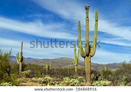 giant saguaro cactus at saguaro ...
