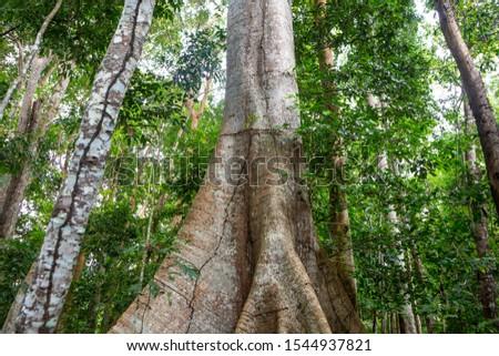 Giant Samauma (Ceiba pentandra) tree trunk with Amazon rainforest in the background. Mafumeira, Sumauma or Kapok. Concept of botany, ecology, environment, conservation and biodiversity. #1544937821
