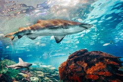 Giant scary sharks under water in aquarium. Sea ocean marine wildlife predators dangerous animals swimming in blue water. Underwater sea life. Water nature fauna background wallpaper.