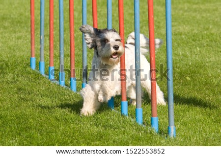 Giant schnauzer at agility course - fast dog sport #1522553852