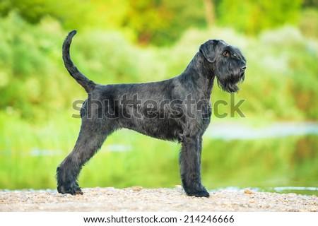 Giant schnauzer dog #214246666