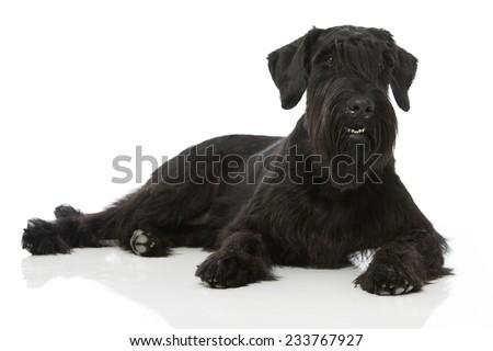 Giant Schnauzer Dog #233767927