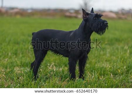 Giant Schnauzer dog breed  #652640170