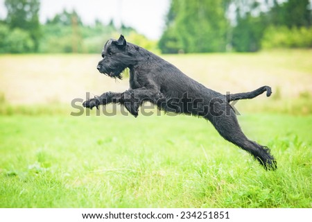Giant schnauzer dog jumping on the meadow #234251851