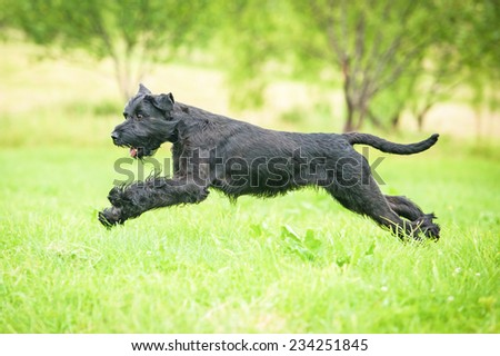 Giant schnauzer dog playing on the meadow #234251845