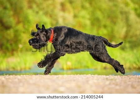 Giant schnauzer dog running on the beach