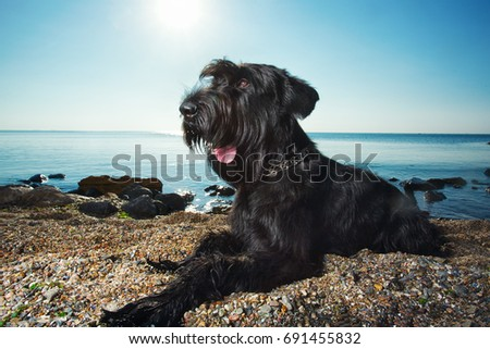 Giant schnauzer laying on a beach with the sun behind   #691455832