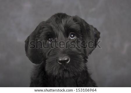 Giant schnauzer puppy  - stock photo