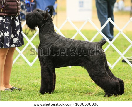Giant Schnauzer showing at AKC dog show #1098598088