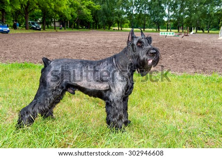 Giant schnauzer stands. The Giant schnauzer is on the grass in the park. #302946608