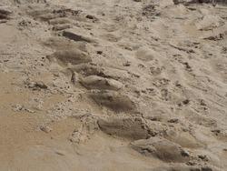 Giant sea turtle footprint tracks on the beach. Leatherback turtle leaves footprints pattern to lay eggs on sandy beach.