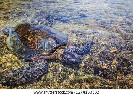 Giant sea turtle on Hawaiian beach