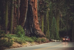 Giant Sequoia and the Generals Highway. Sequoia National Park and Forest. Kings Canyon. California, United States of America.