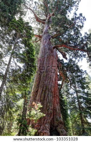 Giant Sequoia in Mariposa Grove, Yosemite