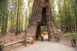 Giant Sequoia, Mariposa Grove, Yosemite National Park, California
