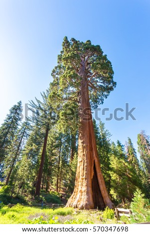 Giant Sequoia redwood trees with blue sky