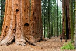 Giant Sequoia, Sequoia NP