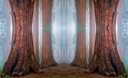 Giant sequoia tree forest mist background. Sequoias mist forest. Sequoia mist forest view. Sequoia forest background