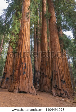 Giant sequoia tress at Sequoia National Park. Photos were taken in November when the light is softer.