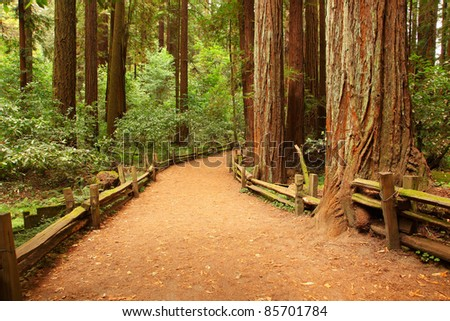 Giant sequoias - stock photo