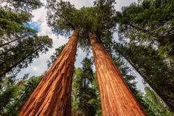 Giant Sequoias Fores in California Sierra Nevada Mountains, United States.
