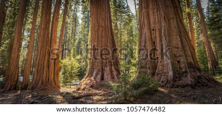 Giant Sequoias (Redwoods) in the Giant Forest Grove in the Sequoia National Park