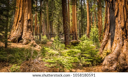 Giant Sequoias (Redwoods) in the Giant Forest Grove in the Sequoia National Park, California (USA)