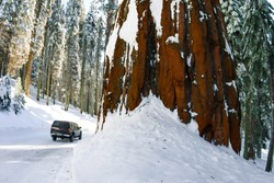 Giant Sequoias stand majestically and covered in snow following a winter storm in Sequoia National Park within the Sierra Nevada Mountains in California, USA.