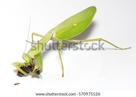 Giant shield mantis (Rhombodera megaera) eating a roach, close-up on white background