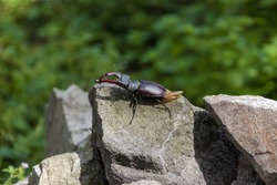 Giant stag beetle (Lucanus cervus) standing on rocks. Insect with big mandibles. Animals in wild nature.