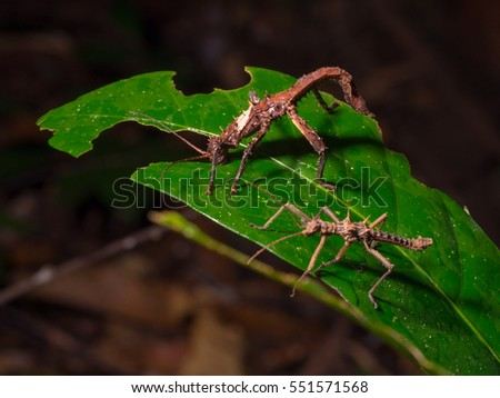 Giant Stick insects in Gunung Gading National Park, Borneo, Malaysia #551571568